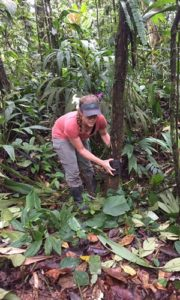 Jennifer McCarthy attaches a camera to a tree. McCarthy and other researchers will return to Panama to collect 34 cameras they placed in June, hoping to catch images of the jaguarundi.